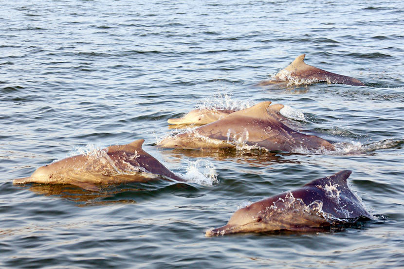 Humpback Dolphins spotted in Abu Dhabi